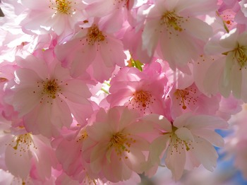 japanese-cherry-trees-6344_1920.jpg